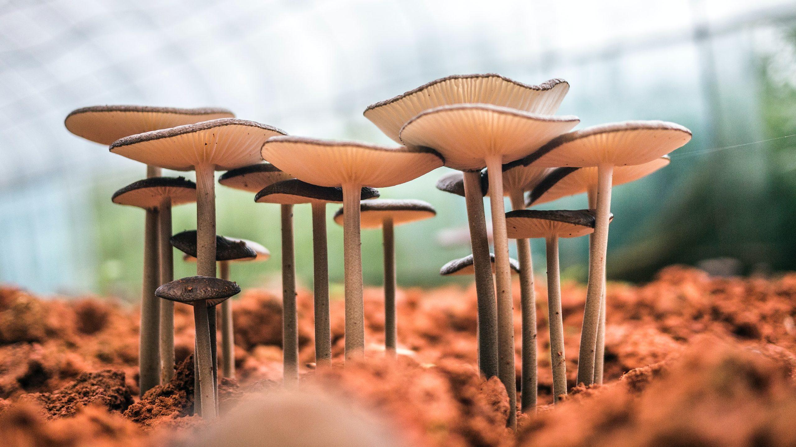 champignon du soleil
